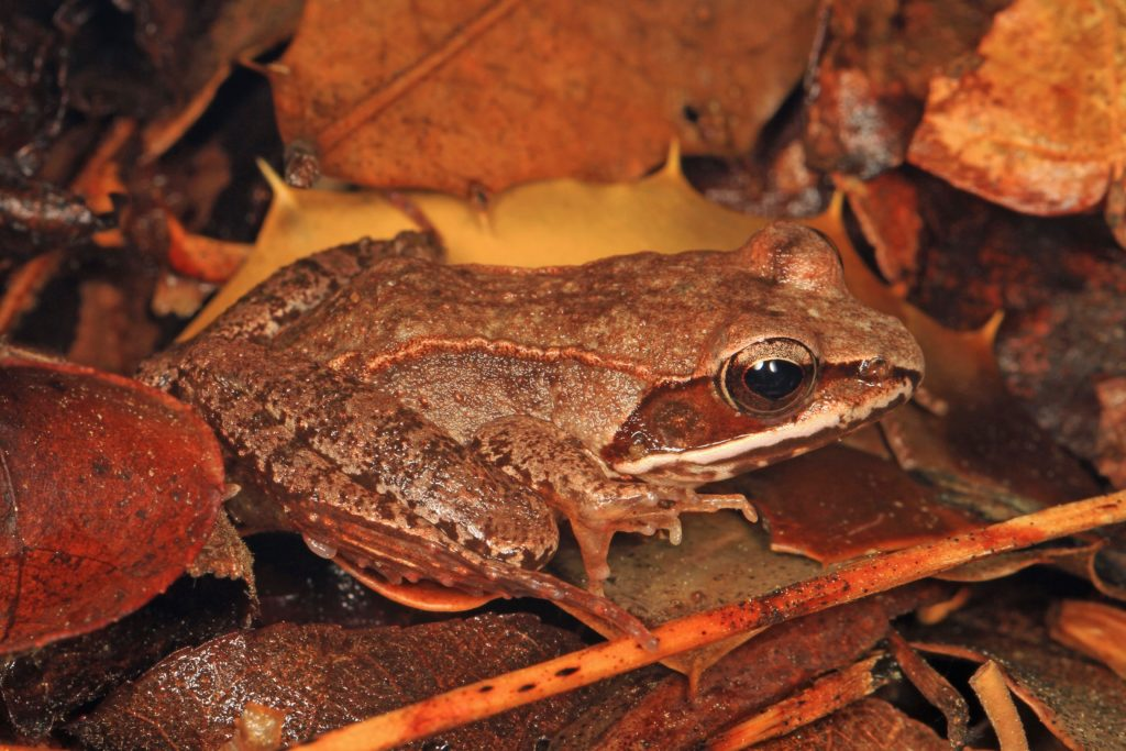 Wood Frogs, Lithobates sylvatica.