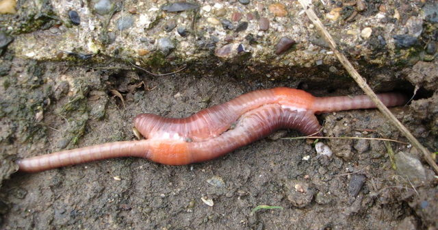 Image of two earthworms mating