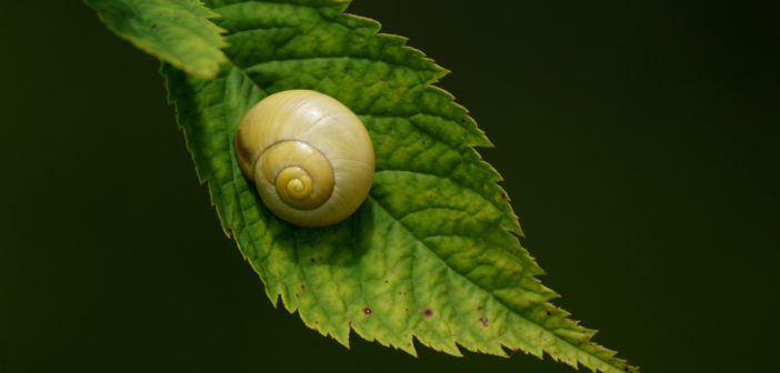 Yellow snail sitting on green leaf.