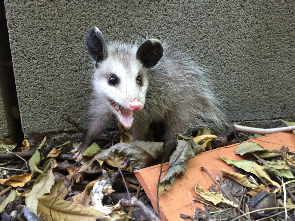 Young Virginia Opossum, Didelphis virginiana, facing the camera with mouth wide open and hissing.