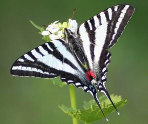 Zebra_Swallowtail 2