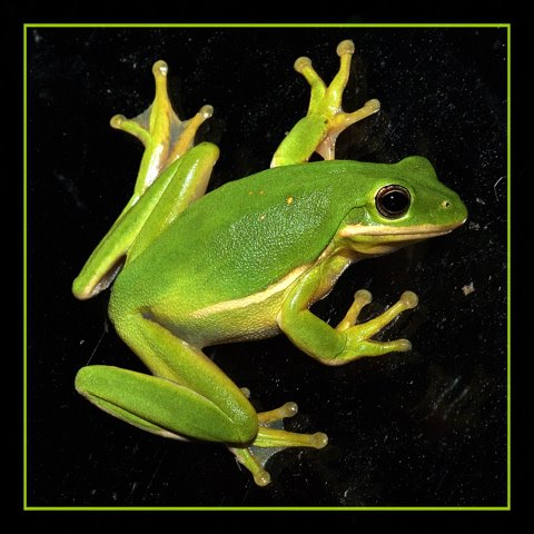 Image of an American Green Tree Frog (Hyla cinerea).