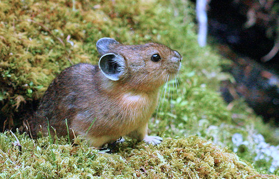 American Pika standing on mossy ground.