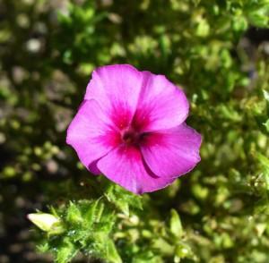 Annual Phlox blossom