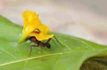 Close up image of an ant carrying a bright yellow flower on its back.