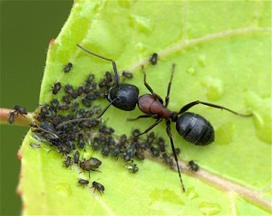 Black Carpenter ant tending to aphids. (© Bruce MacQueen)