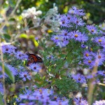 Aromatic aster in bloom