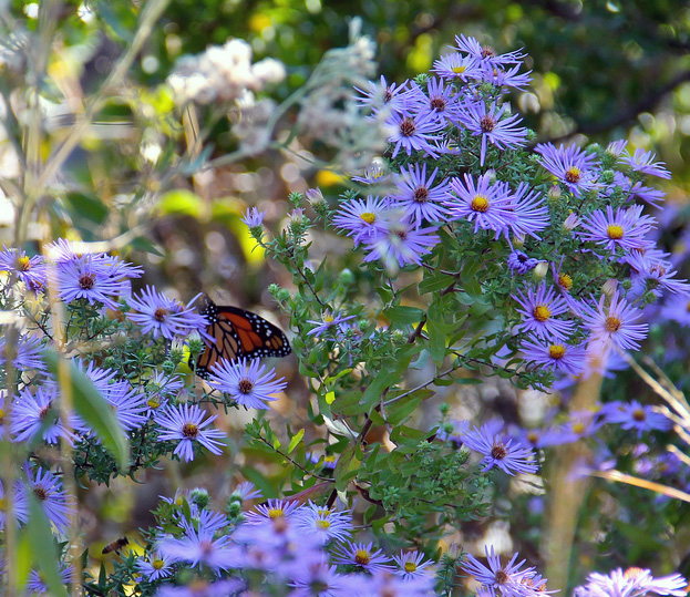 Aromatic Aster. (U.S. Government Work; PD)