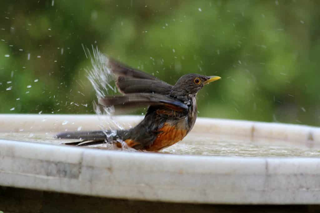 American Robin splashing water in a birdbath as it bathes.