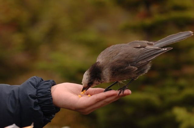 Bird eating cheese while perched on a person's hand