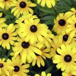 Black-eyed Susan in bloom