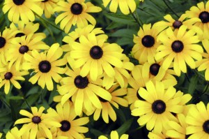 Black-eyed Susan in bloom