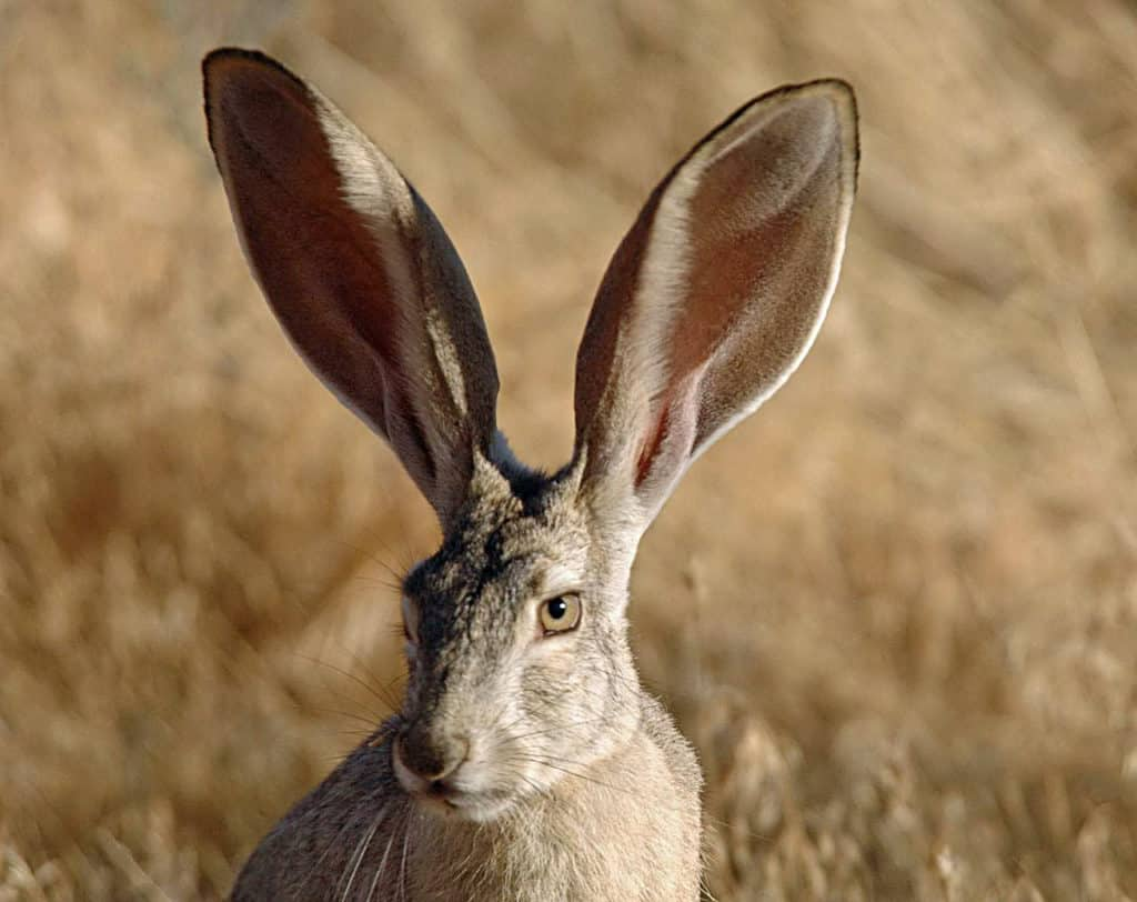 Close up image of a Black-tailed Jackrabbit.
