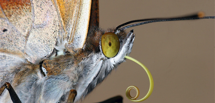 Close up image of a butterly's head showing its proboscis.