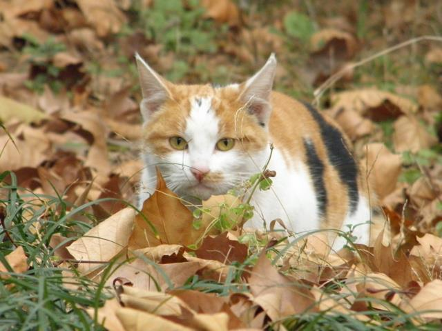Cat lying in leaves and blending in
