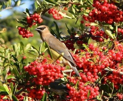 Cedar Waxwing perched on a bush that has red berries