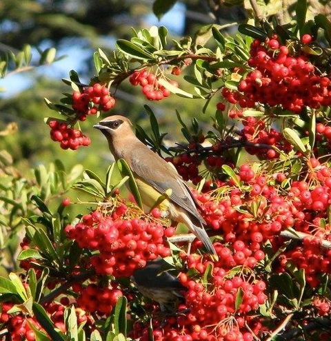 Cedar Waxwing and berries