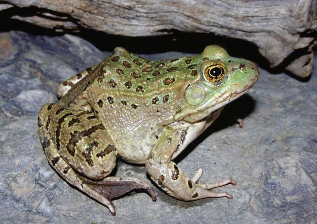 Image of a Chiricahua Leopard Frog; formerly known as the Vegas Valley Leopard Frog.