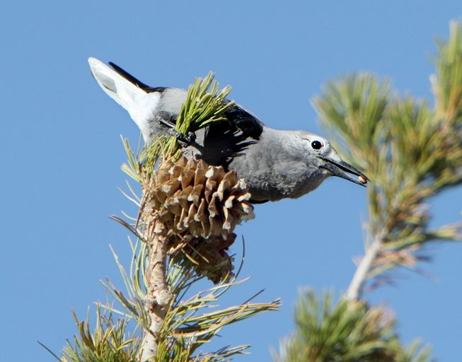 Clark's Nutcracker (Nucifraga columbiana) standing on the top of a pine tree and holding a pine seed in its beak.