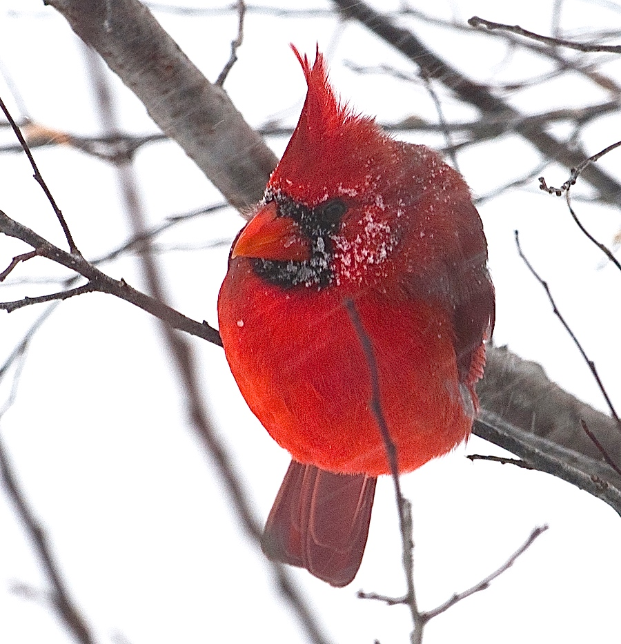 Male Northern Cardinal in a snowstorm, with fluffy feathers and sleet sticking to his head
