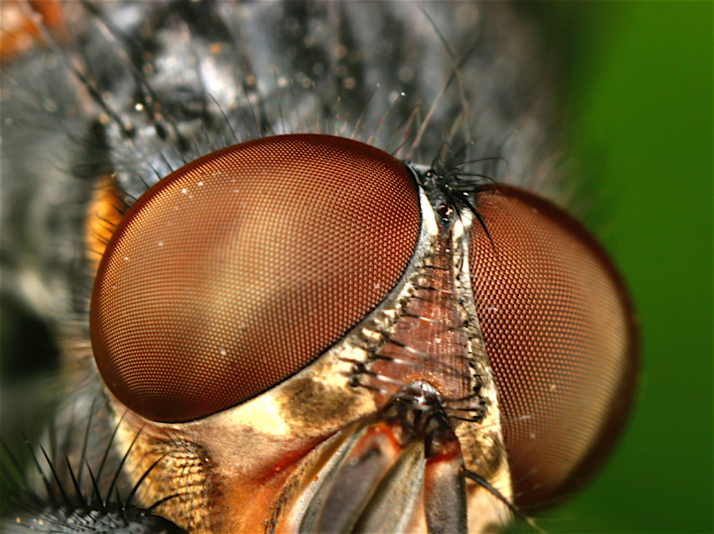 Compound eyes of a fly.