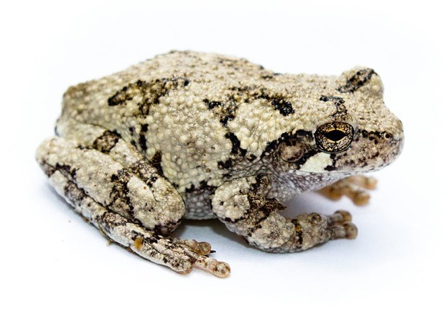 Image of a Copes gray tree frog.