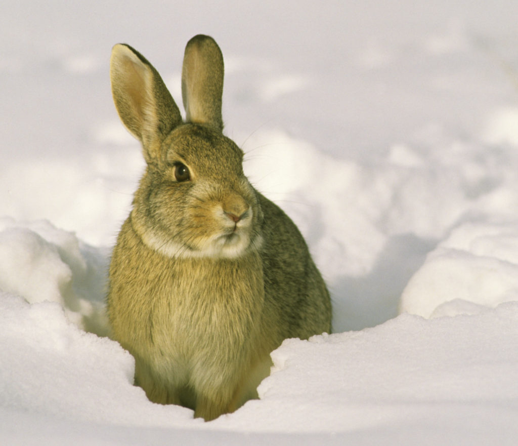 Cottontail rabbit sitting in deep snow.