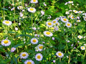 Daisy Fleabane plant in bloom