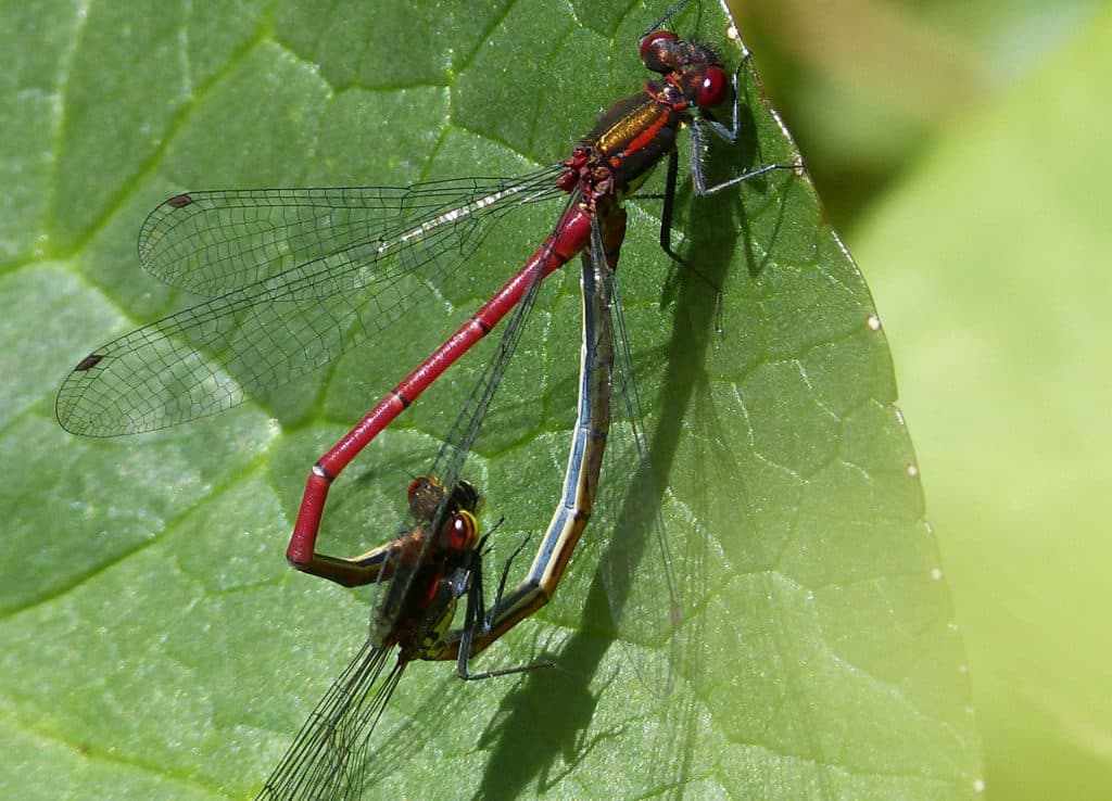 Male and female damselflies mating and their bodies are forming a shape like a heart.