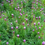 Dense Blazing Star plant in bloom
