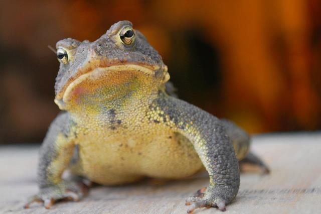 Image of an Eastern American Toad.