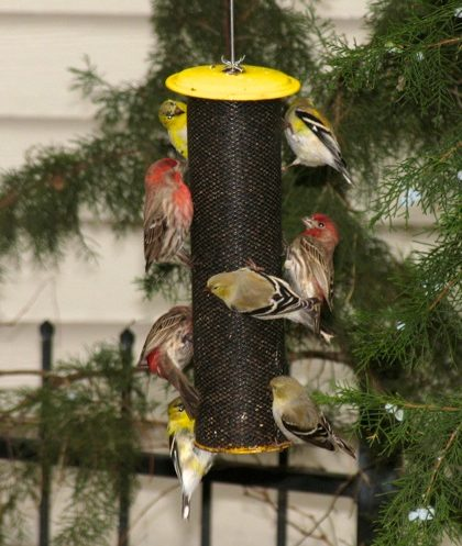 House Finches and American Goldfinches on thistle feeder.