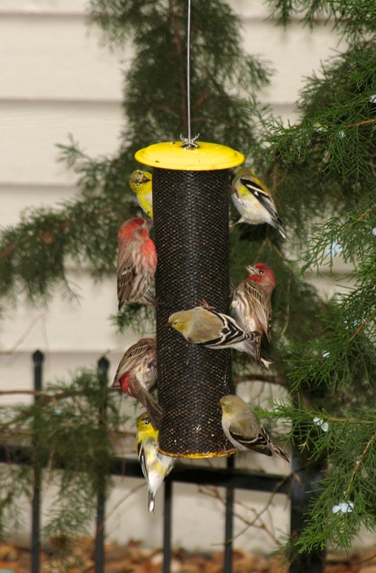 Finches on feeder