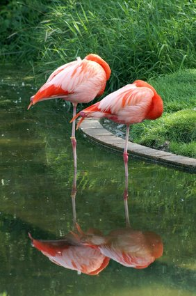 Two flamingos each standing on one leg in water