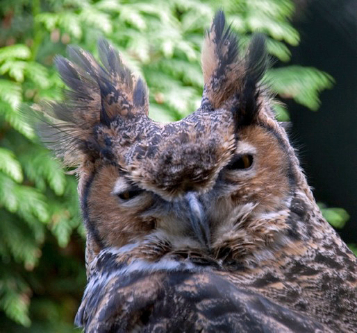 Great Horned Owl, showing its ear tufts standing straight up
