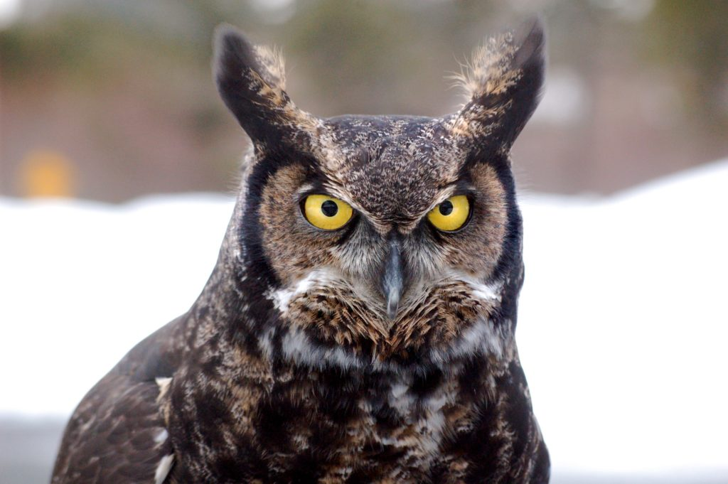 close up of Great-horned Owl facing the camera, showing ear tufts standing up.