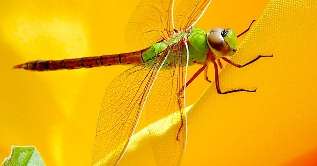 Close up image of a Green Darner dragonfly.