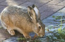 Hare standing on brick surface eating greenery.