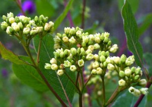 Hemp Dogbane in bloom