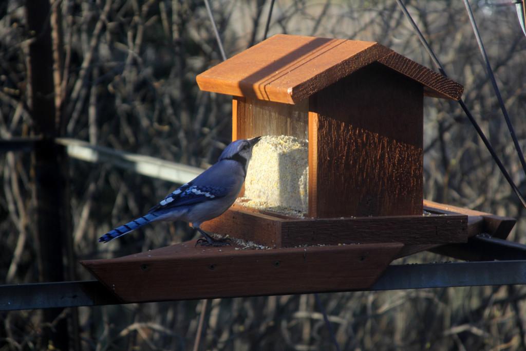 Hopper bird feeder with Bluejay on it.