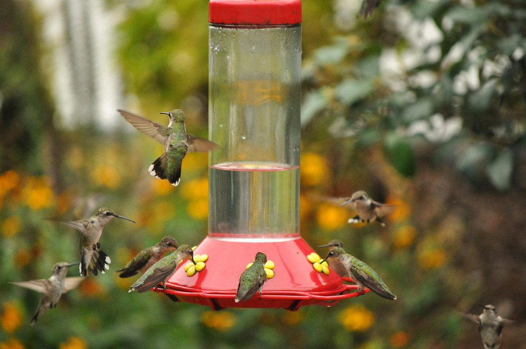 Eight hummingbirds feeding at a nectar feeder.