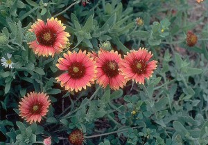 Indian Blanket plant in bloom