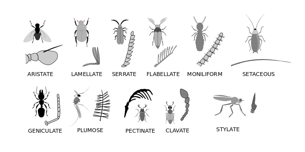 Illustration showing different types of insect antennae.