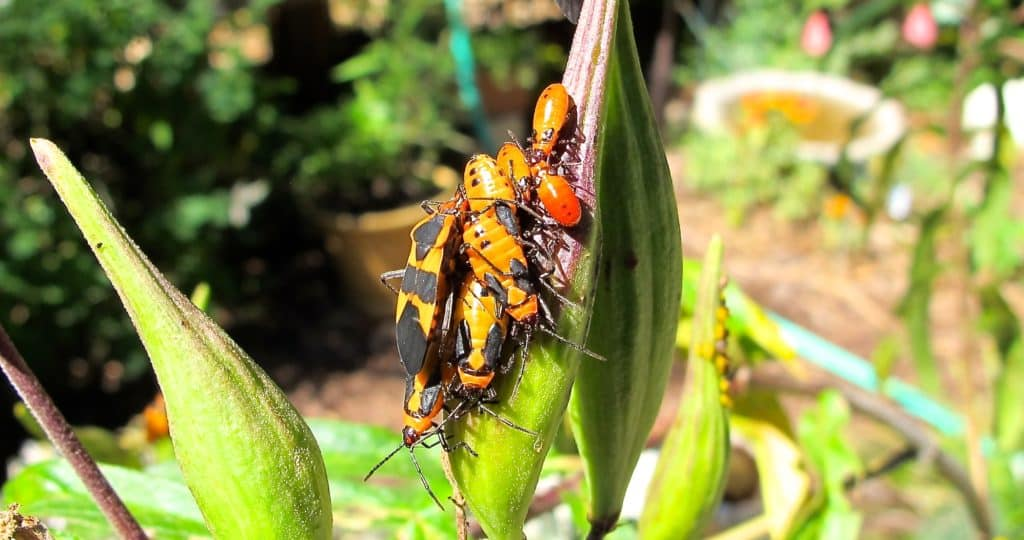 Large milkweed bug adults and nymphs at various stages of growth.