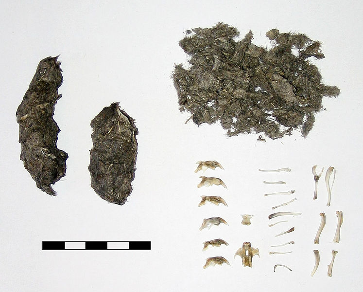 Pellets regurgitated by a Long-eared Owl