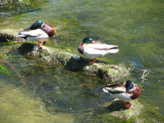 Mallard ducks sleeping while perched on rocks in water.