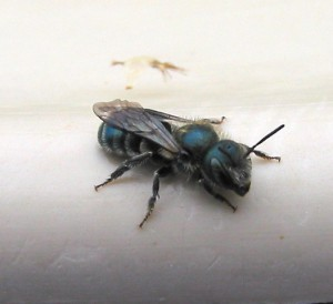 Some mason bees, like this one, are often mistaken for flies. (WW)