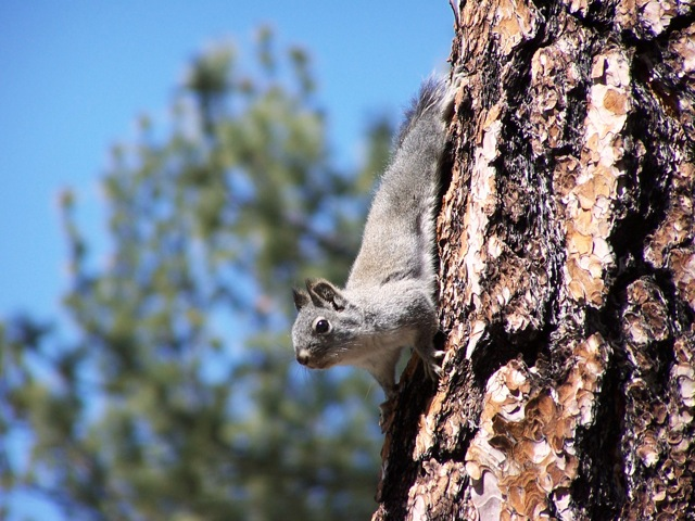 A Mearns's Squirrel, one of the so-called pine squirrels, clinging head down to the trunk of a pine tree.