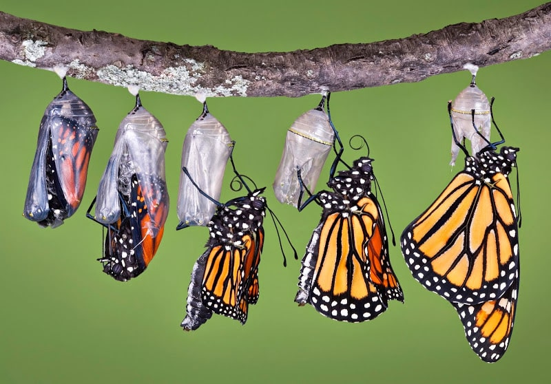 Composite image, left to right, of Monarch emerging from its chrysalis and slowly inflating its wings until they're fully inflated and ready for flight.