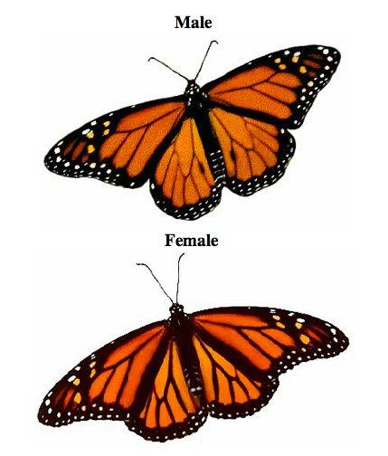Monarch m-f